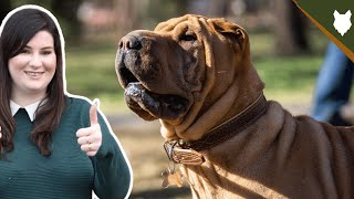 BREED 101 SHAR PEI! Everything You Need To Know About The Shar Pei