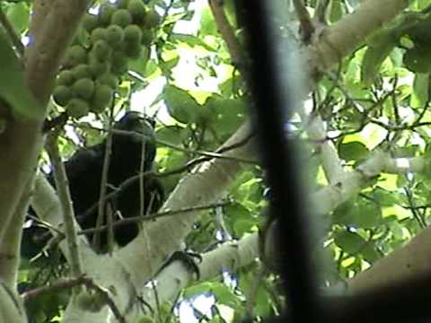 Crows -  build the nest