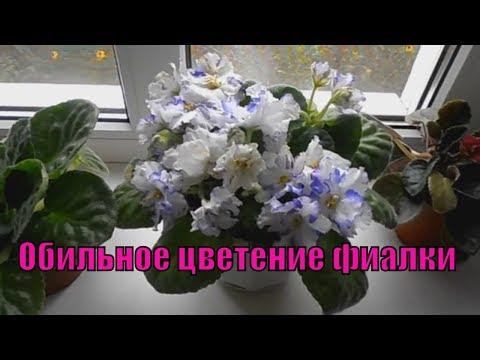 Цветы фиалки,цикламен,антуриум дома