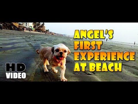 Angel Lhasa Apso Puppy !! Versova Beach