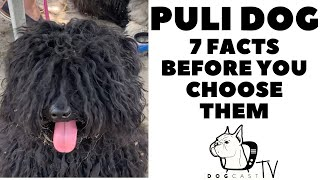 Before you buy a dog  THE PULI DOG  7 facts to consider! DogCastTV!