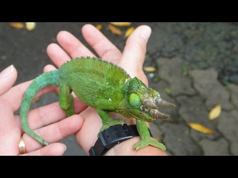 HOW TO TAME A CHAMELEON
