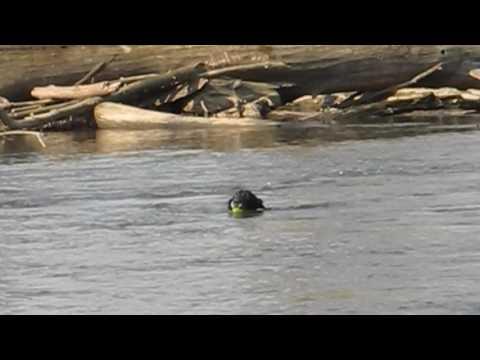 Flat-Coated Retriever Claire bei einer Wasserübung in der Strömung