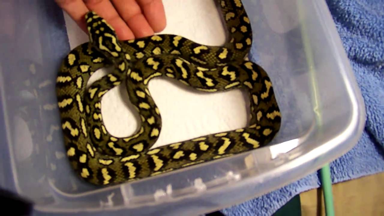 2010 75 Diamond X Jungle Carpet Python Spark Youtube