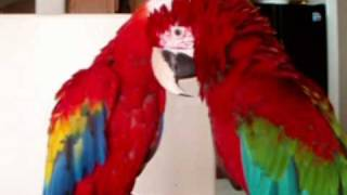 Scarlet Macaw Holding hands with a Green Wing Macaw