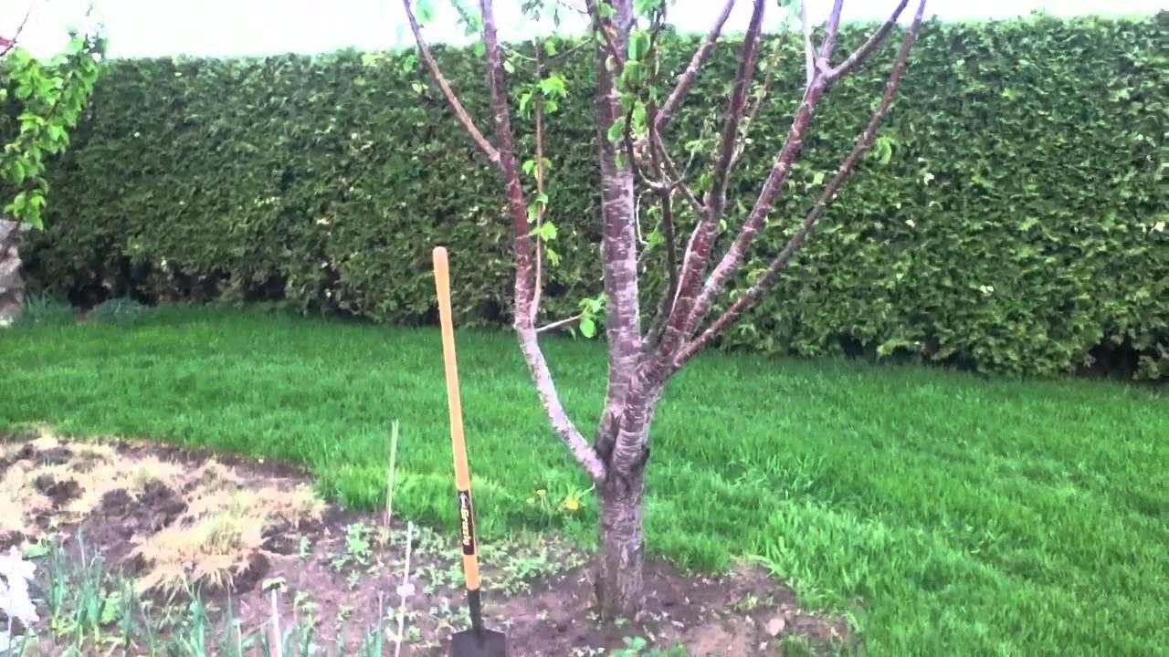 comment planter cerisier