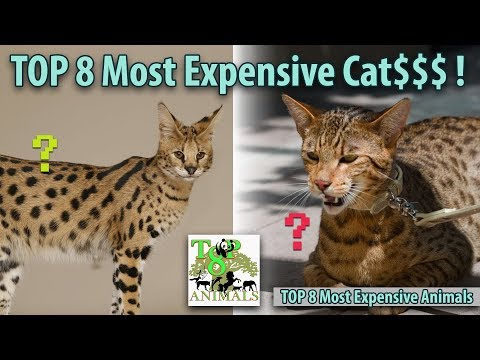 Top 8 Most Expensive Cats !