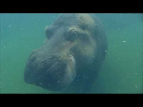 Hippos are back at the Cincinnati Zoo!!