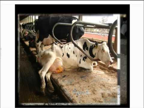 Cow comfort and lameness prevention in housed systems