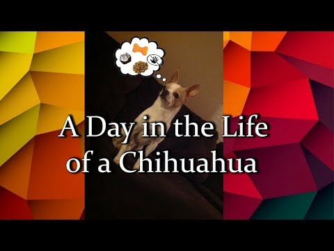 A Day in the Life of a Chihuahua