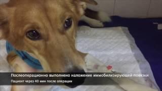 Постановка кардиостимулятора собаке