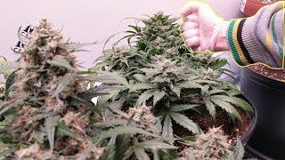 BIG BUDS THE SIZE OF MY FIST.  AUTOFLOWERS & PHOTOPERIODS