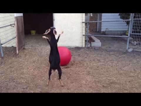 Take A Break And Watch This Goat Play With A Yoga Ball