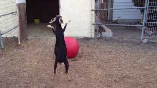 Repeat youtube video Best Use For A Yoga Ball, According To My Goats.