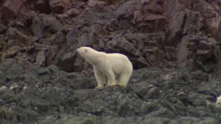 Arctic Polar Bears - Nunavut, Canada