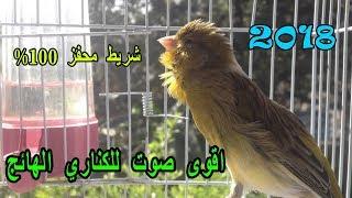 اقوى بتبتات لتهييج الكناري على التغريد و تجهيز الطيور للتزاوج - صوت دكر الكناري الهائج