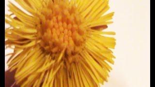 Мать-и-мачеха цветок-при бронхите травы