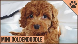 Mini Goldendoodle  The Miniature Size Goldendoodle