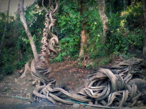 Pohon Raga Sakti di Cimandung Cirebon Girang: Seram Namanya Unik Pohonnya