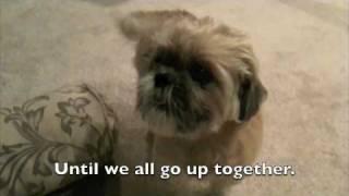 Taz The Talking Shih Tzu - Dog