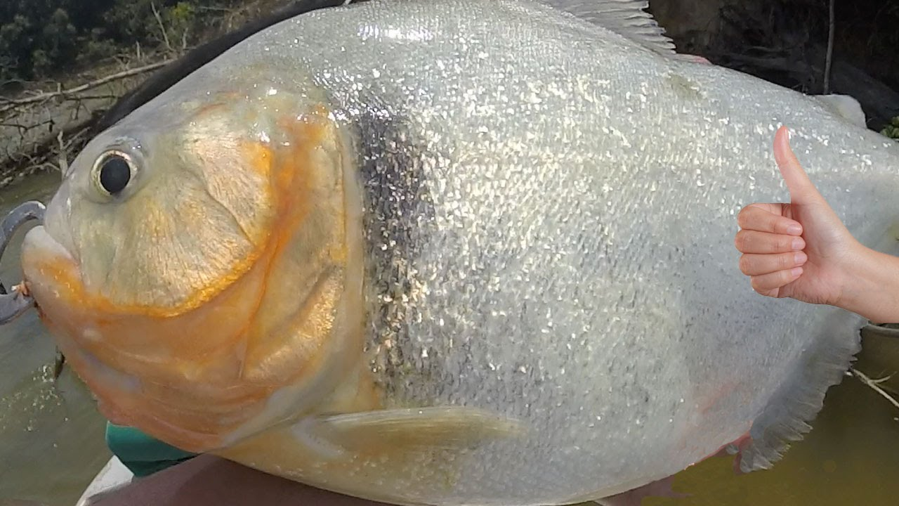 Biggest piranha in the world amazon river monsters youtube for Fish in the amazon