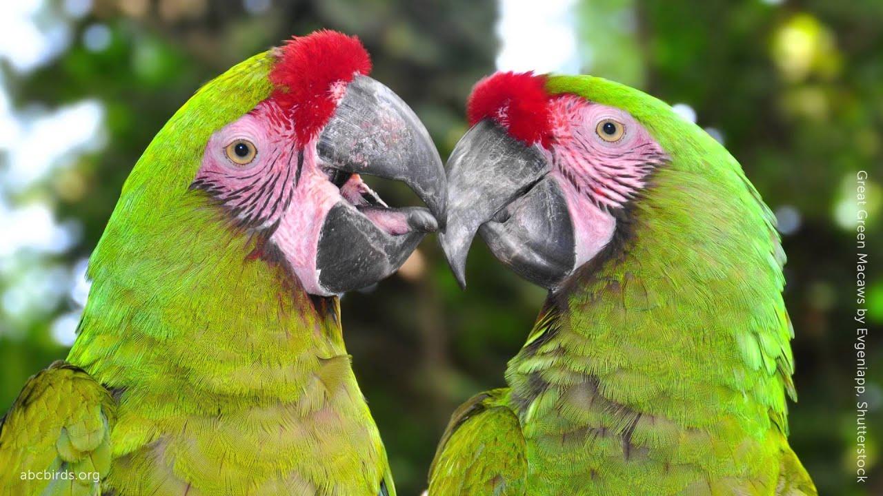 great green macaw youtube