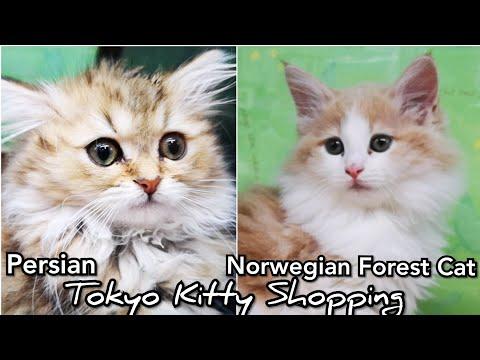 Norwegian 🐱 FOREST Cat & PERSIAN KITTY SHOPPING 🐈 Tokyo Pet Shop 📽️ HUAWEI P20 PRO