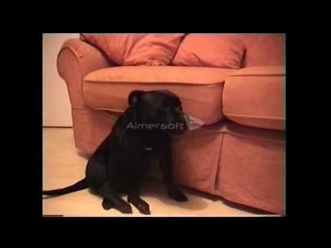 Madge - an L-2-HGA affected Staffordshire Bull Terrier: part two