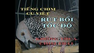 Tiếng chim cu Việt mồi rút bổi tốc độ không thua chim Thái