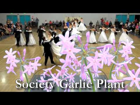 *Society Garlic Plant* +Great Plants +Never Quite As They Seem+