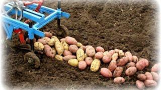 Картофель выращенный на сене