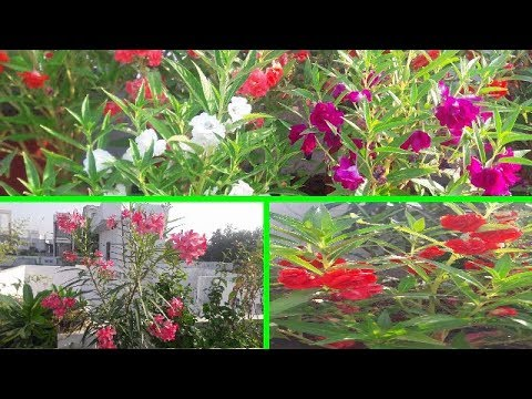 October Overview🏵🌸🌼🌺 my terrace Garden with multi shade Balsam blooming 🏵🏵🏵18 Oct 2018