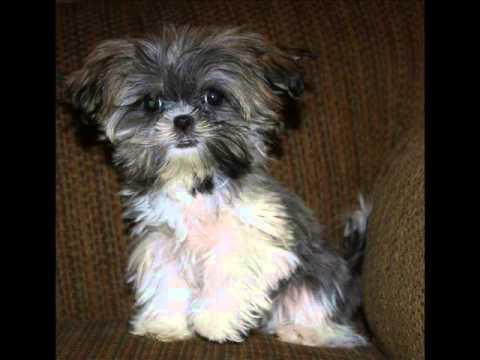 Shorkie Puppies Shih Tzu Mix Puppies Yorkie Mix Puppies