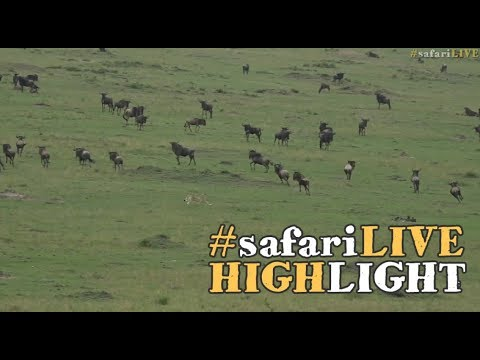 Malaika and her boys take down a wildebeest in the Mara!