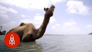 India's Swimming Camels