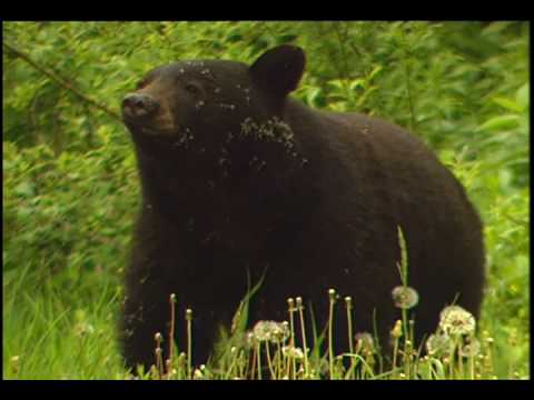 Bears in our National Parks Music Video - Bears DVD