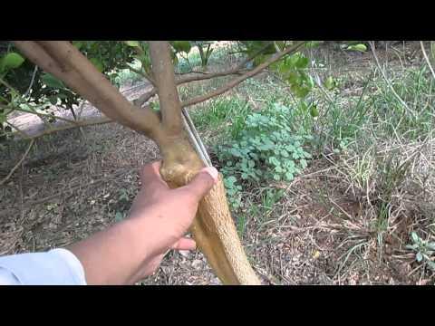 สวนมะนาว ต้นตอมะขวิด(คุณลุงเล็ก ยี่สาร)