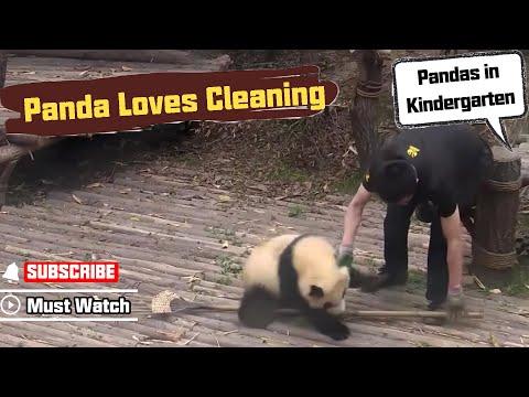 Baby panda girl is fond of cleaning | iPanda