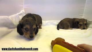 Brandon And Bryce - Mini Dachshund Puppies - Ddr
