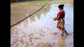Rice Farming in Bangladesh