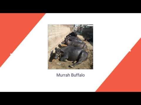 Jersey Cow Supplier In Karnal | Kaushik Gujjar Dairy Farm