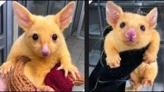 Bất ngờ phát hiện loài chồn lông vàng, nhìn chả khác gì là Pikachu ngoài đời thực cả