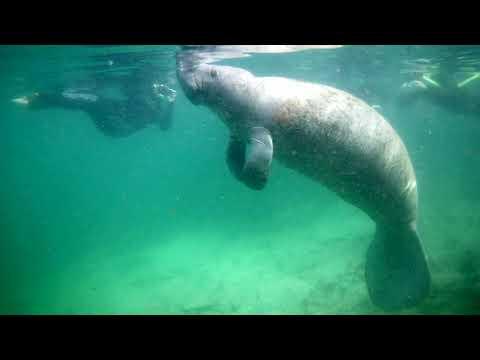 Swimming With Monates In Crystal River Florida,Silver Springs, Pelde ar Lamantiniem - Impro ceļojumi