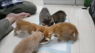フロアデビュー前の保護猫こねこちゃんに会えました~♡ 撮影日は2017年8...