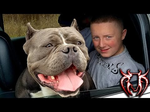 Biggest House Ever >> THE BIGGEST HEAD I EVER SEEN ON AN AMERICAN BULLY - YouTube