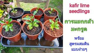 การแยกกล้ามะกรูด พร้อมสูตรผสมดิน ดีไอวาย แบบง่ายๆ - kafir lime or makrut seedlings (8 Jul.20)