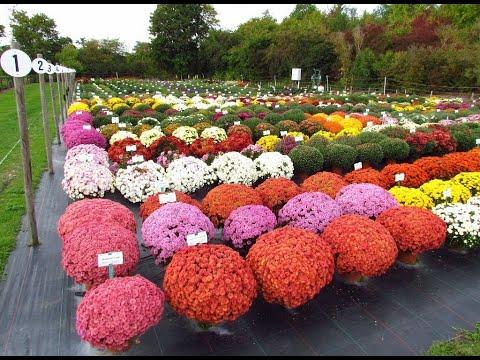 Хризантемы шаровидные выращивание и уход в домашних условиях