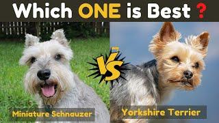 Miniature schnauzer vs Yorkshire terrier  Comparison Between Two Dogs