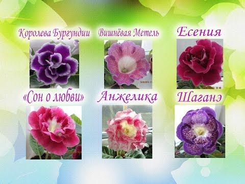 Красавицы глоксинии.Вишневая Метель,Королева Бургундии,Есения, Сударушка,Анжелика,Шаганэ,Сон о любви