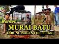 Murai Batu Borneo Tarung Full Isian Tarung Nagen Isian Kasar  Mp3 - Mp4 Download